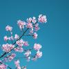 河津桜_6