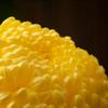 三渓園 菊花展