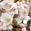 アズマくんと桜2