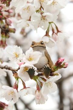 アズマくんと桜