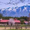 桜巡りシリーズ 小岩井農場上丸牛舎