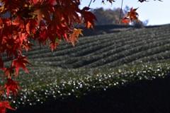 茶畑と紅葉
