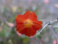 秋花 オレンジ