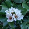 秋花 ホワイト