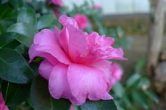 秋花 ピンク