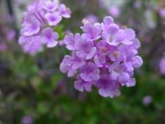 秋花 薄紫