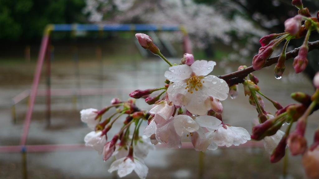 桜・雨 風景