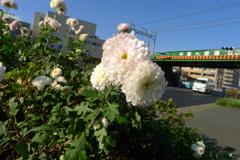 帰宅途中で咲いていた白い花