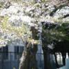 葉桜になりつつ・・・・・・