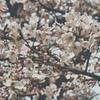 桜~満開~