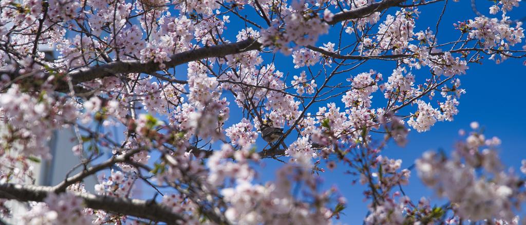 桜の中に鳥さん