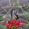 曼殊沙華と蝶