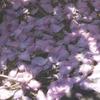 花びらのカーテン