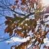 桜の樹 紅葉