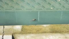 アカミミガメ