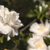 山茶花とミツバチ