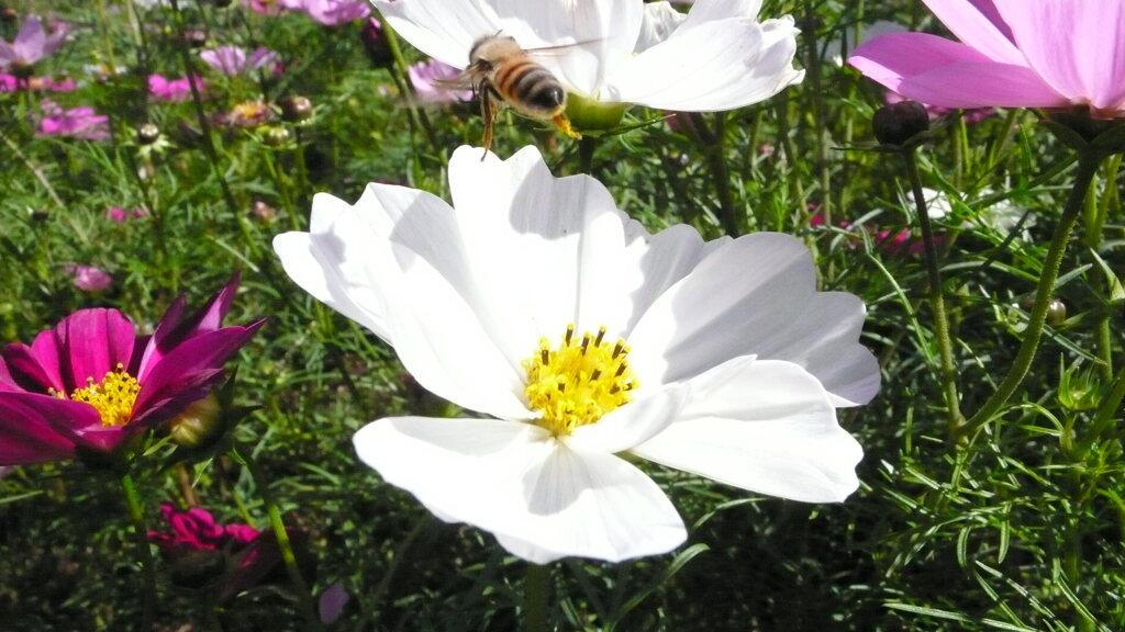 蜂 離陸 花