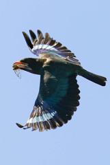 仏法僧の飛翔
