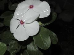 夜道の白花*雨跡