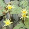 幻想的な熱帯睡蓮2
