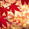 紅 葉 の 一 生