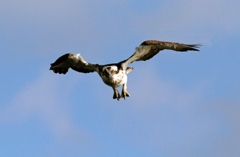 Osprey  Dive Dive Dive
