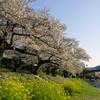 錦帯橋の春