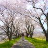 桜並木散歩