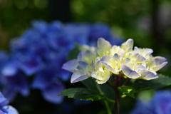 紫陽花 2021