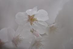 桜 2021
