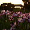 夕暮れの花菖蒲