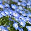 春の花 ネモフィラ