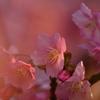 ふんわり河津桜