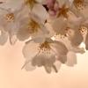 夕暮れの桜 2021