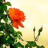 薔薇の咲く街路