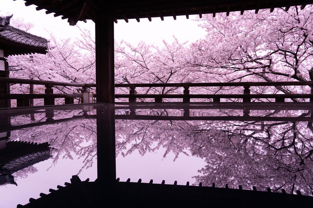 2021年 三井寺の桜-2