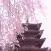 2020年 醍醐寺 桜-10