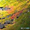 紅葉(金沢)ー1