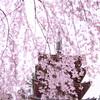 2020年 醍醐寺 桜-9