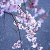 2020年 醍醐寺 桜-6
