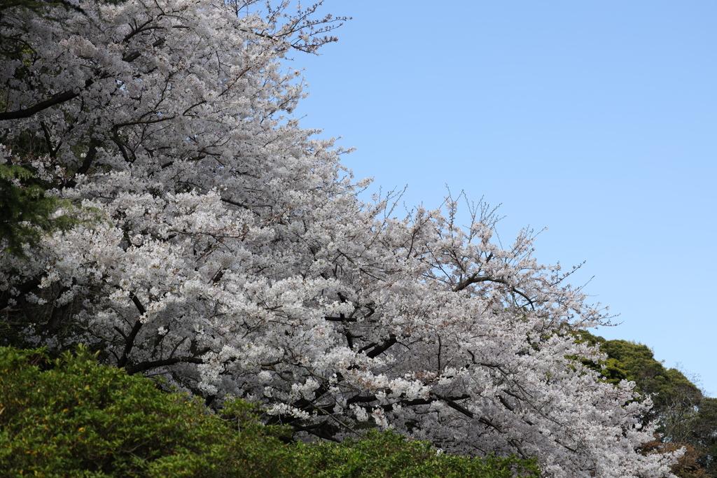 愛宕さんの桜
