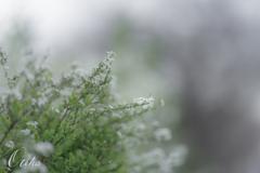 淡雪のように・・・。