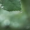 薔薇の葉の滴