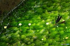 梅花藻咲く用水路