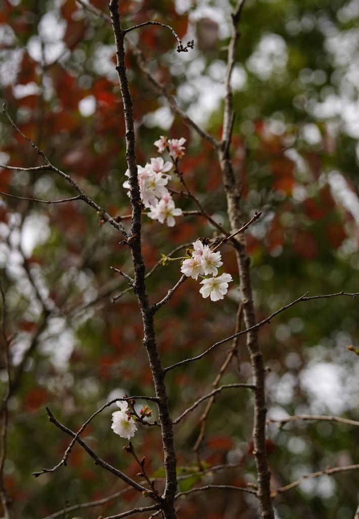 『秋惜しむ桜』。