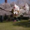 桜も終わりです。