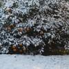 柑橘類も雪の下。
