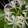 210919 蝶と白い彼岸花