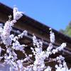 210326 山桜桃梅