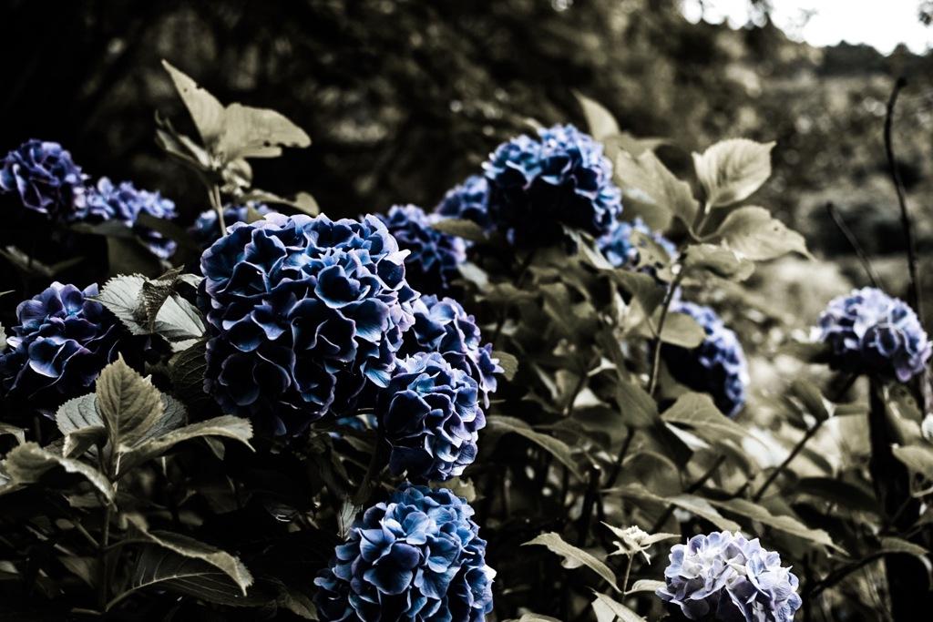 ロイヤル紫陽花